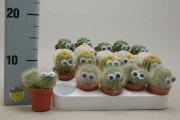 кактусы 5,5 с глазками