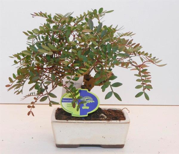 Бонсай из Фисташкового дерева 25см
