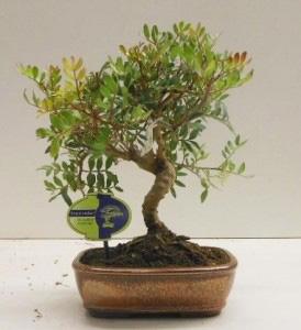 Бонсай из Фисташкового дерева 35см