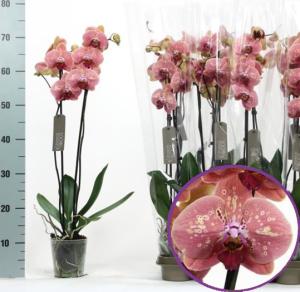 Орхидея Дикий персик