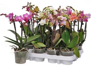 Міні орхідеї