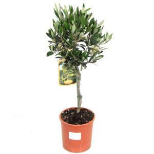 Оливковое дерево 15см