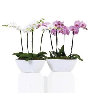 Орхидея в кораблике