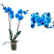 Синяя орхидея с размером