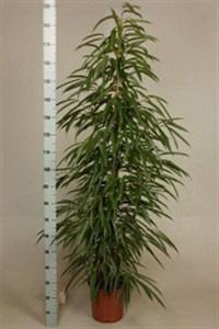Фикус Али 170см дерево