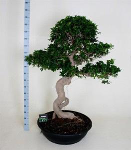 Фикус Гинсенг 170см дерево