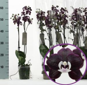 черная орхидея Черная молния