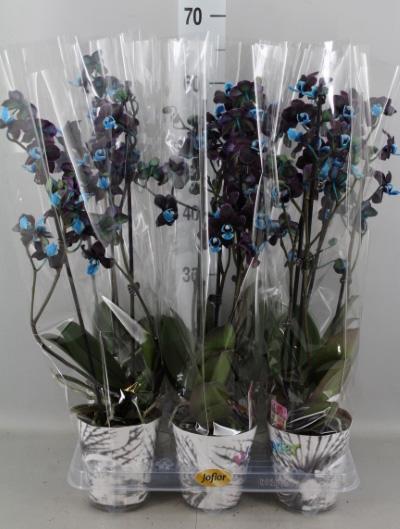 Черная орхидея Предел мечтаний