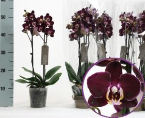 Черная орхидея Элегантная