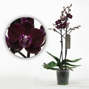 черная орхидея Elegant Happy Angel2