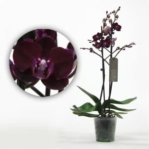 Чорна орхідея