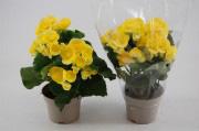 Begonia желтая
