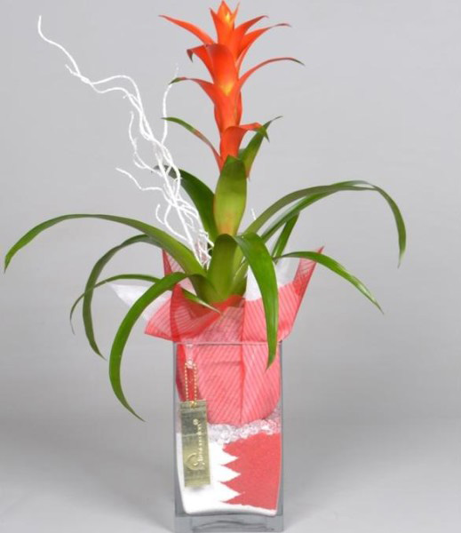 Гузмания в флорариуме