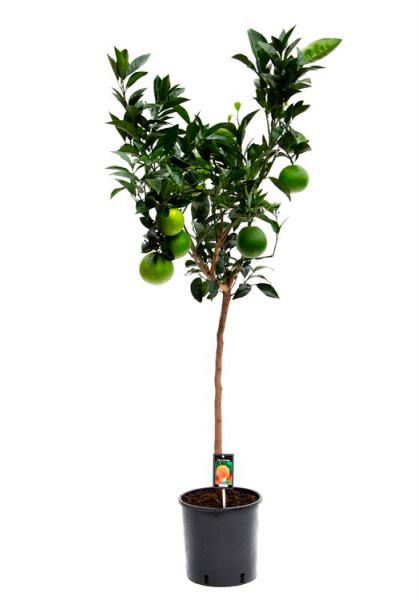 Апельсиновое дерево (высота 140см)