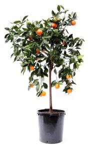 Апельсинові дерева
