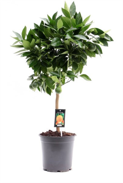 Апельсиновое дерево (высота 85см)