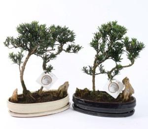Бонсаи из Падуба в форме Леса (высота 35см)
