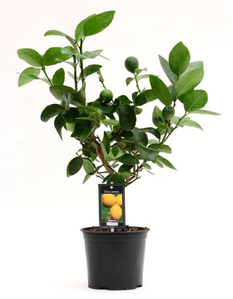 Лимонное дерево (высота 45см)