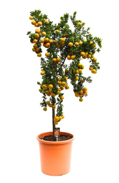 Мандариновое дерево (высота 160см)