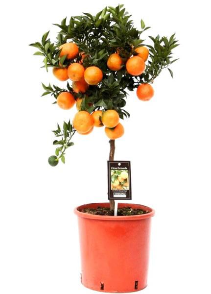 Мандариновое дерево (высота 85см)