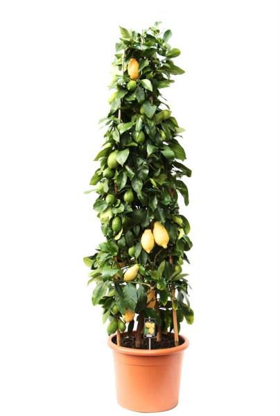 Пирамида из лимонного дерева