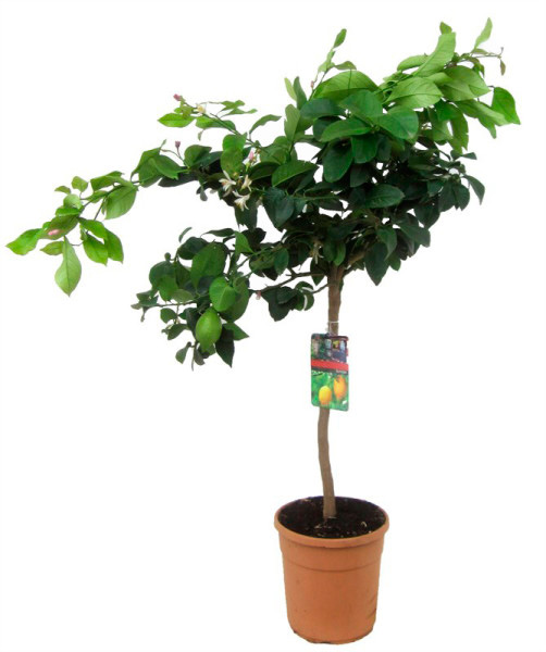 лимонное дерево 110см