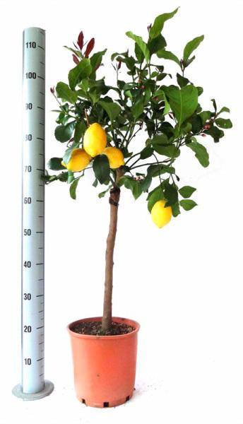 лимонное дерево 120см
