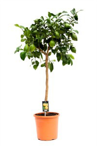лимонное дерево 130см