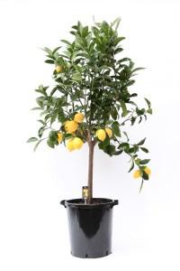 лимонное дерево 180см