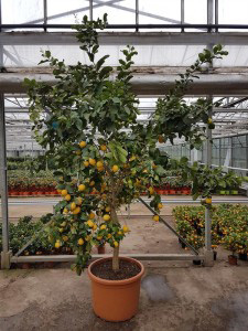 лимонное дерево 270см