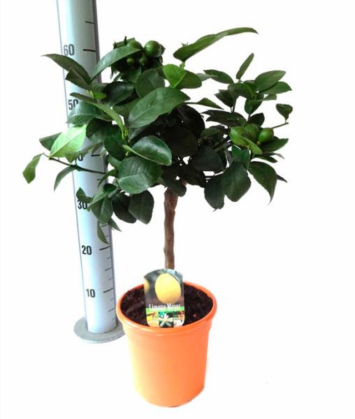лимонное дерево 60см