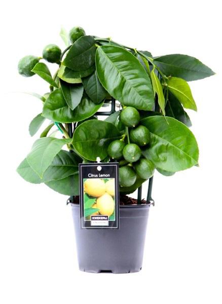 лимонное дерево_30см