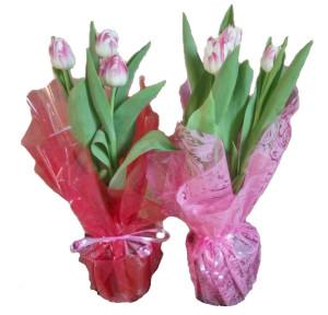 тюльпаны в_13_горшке