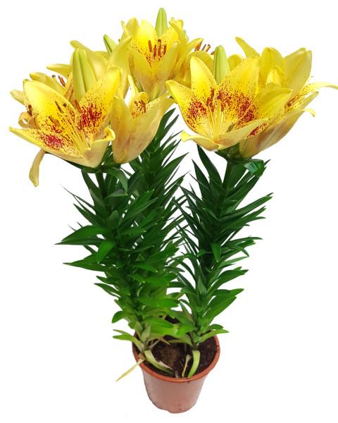 Лилия-желтая