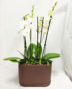 Орхидея в шоколаде