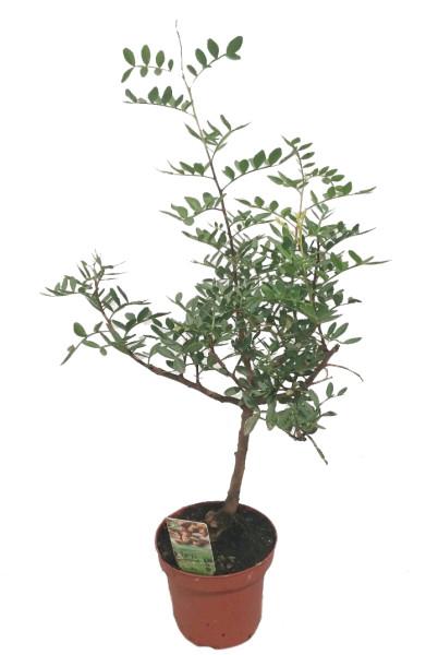 Фистошковое дерево