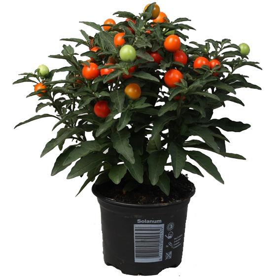 Комнатный помидор