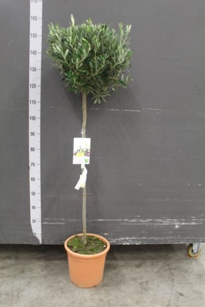 Оливковое дерево 160см