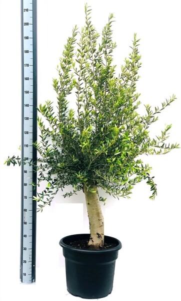 Оливковое дерево 2м