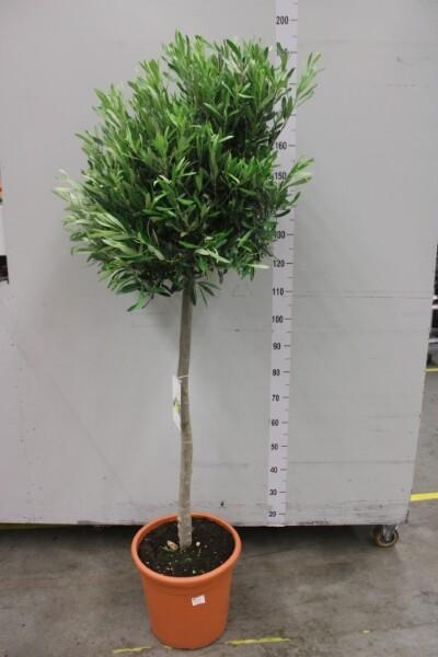 Оливковое дерево 180см