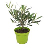 Оливковое дерево 2